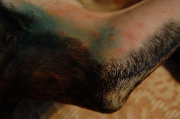 Аллергия у собак: что делать, лечение, симптомы, фото 5