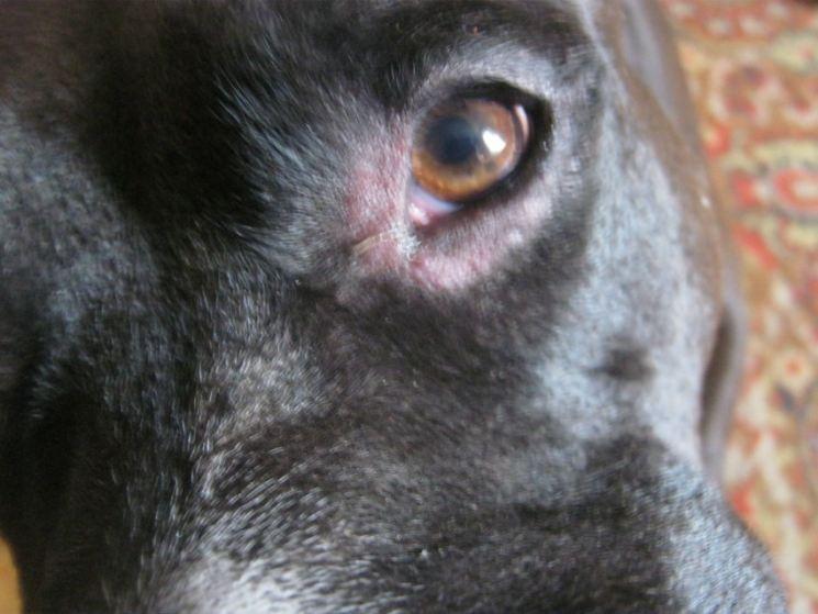 Как выглядит аллергия на коже у собаки фото thumbnail