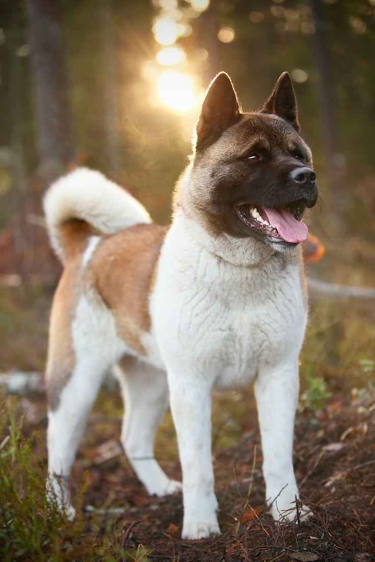американская акита лучшие фото щенков
