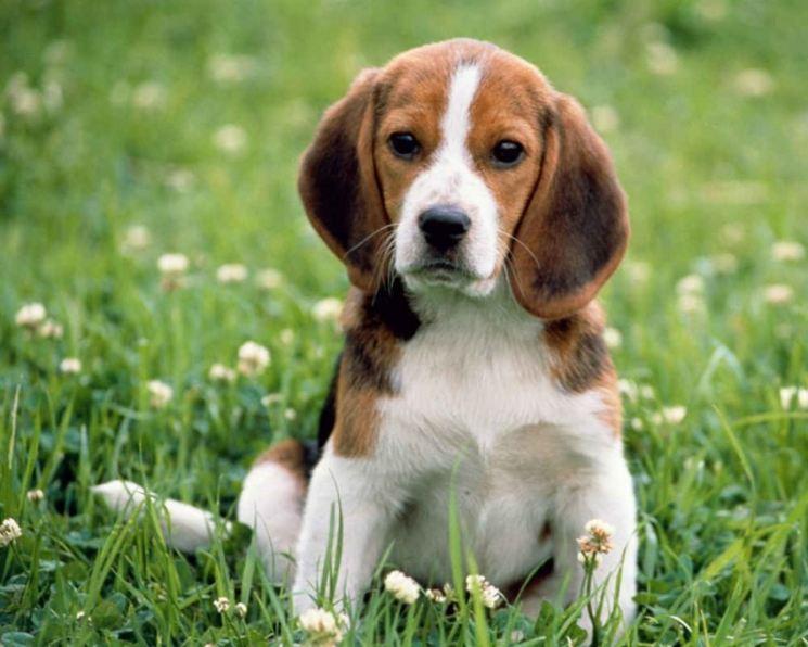 Собака бигль - 125 фото охотничьей породы и особенности ее воспитания