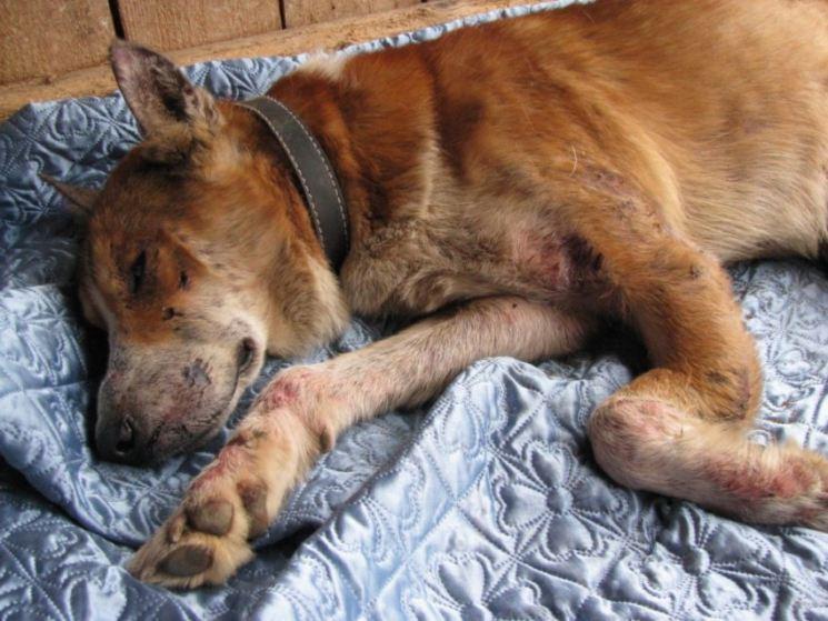 Ушная чесотка у собак лечение