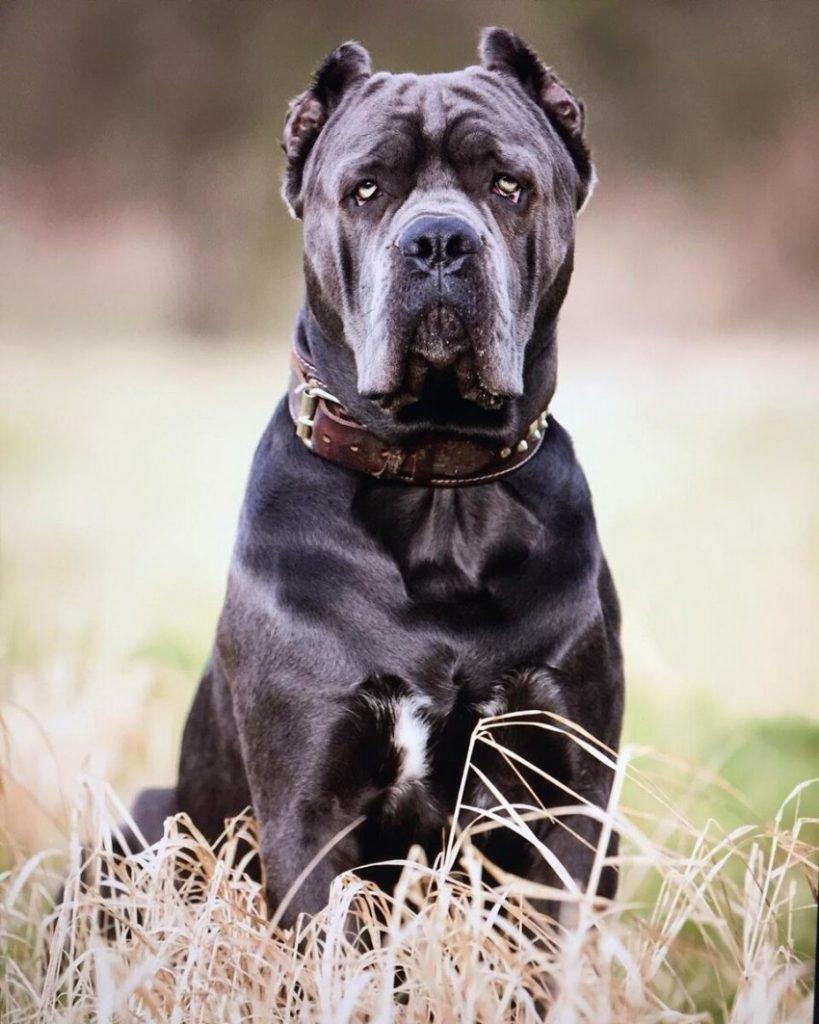 Кона корса собака фото