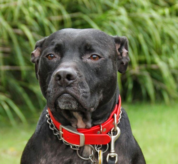 Бойцовские собаки фото и названия